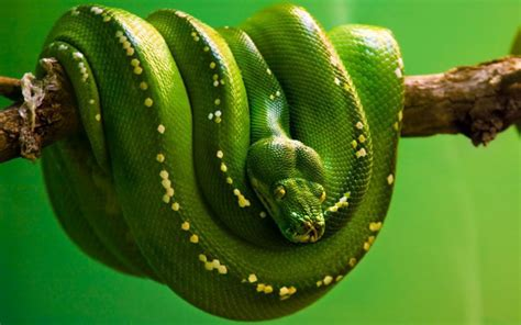 green snake green snake hanging on a branch hd animals wallpapers