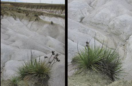 white chalk formations with their yucca companions