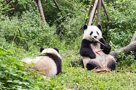 fotos grosser panda baeren zwei tiere