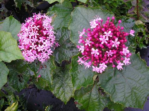 arbuste a fleur production d arbustes 224 fleur p 233 pini 232 res holder bretagne et pays de la loire