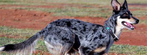 koolie breed guide learn   koolie