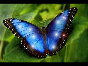 Most Beautiful Butterflies on Earth are 7 MORPHO IS ONE ...
