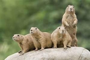 Do Prairie Dogs Bark? Wonderopolis