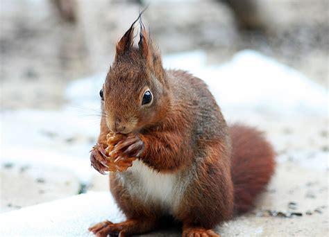 Eichhörnchen Aus Der Winterruhe Foto & Bild Tiere