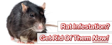 getting rid of rats pest control hertfordshire pest control services pest controllers