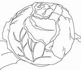 Cabbage Coloring sketch template