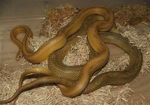 kingsnake.comphoto gallery > Corn Snakes > Amber Stripe x ...