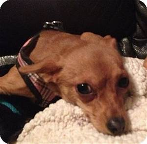 Gilbert, AZ - Miniature Pinscher/Chihuahua Mix. Meet Elise ...