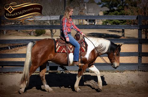 draft horse paint cross henry trail beginner gelding horses reno