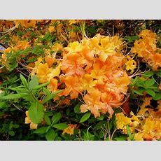 90 Best Native Plants Images On Pinterest  Native Plants