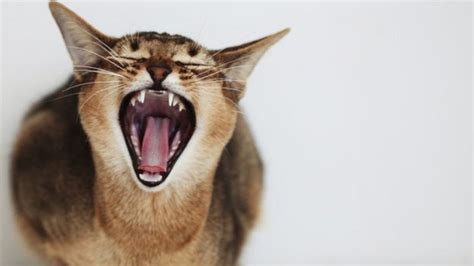 cats dangerous domestic bbc
