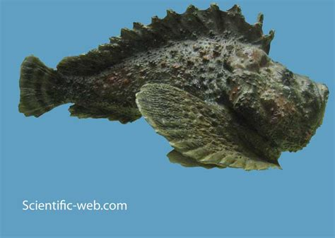 synanceia stonefish fish