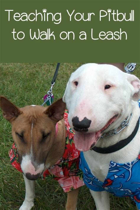 pitbull puppy training tips leash walking  easy
