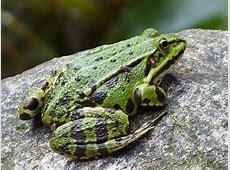Garden Pond Frogs Garden Ftempo