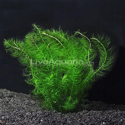 green foxtail aquarium plant aquatic plants for freshwater aquariums myrio green