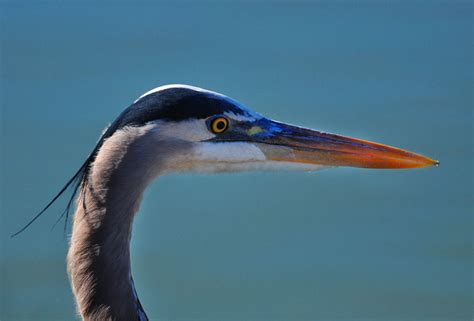 what color is heron hinterland who s who great blue heron