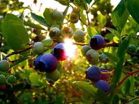 Bush Berries That Look Like Blueberries