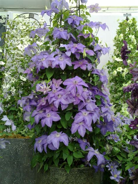clematis new world collection shimmer hardy 2 year plants 2 litre ebay