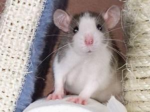 Wie Vertreibt Man Ratten : die 25 besten ideen zu ratten auf pinterest ratte hausratten und s e ratten ~ Eleganceandgraceweddings.com Haus und Dekorationen