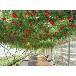 Italian Tree Tomato