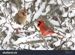 Pair Of Northern Cardinal (Cardinalis Cardinalis) In A ...