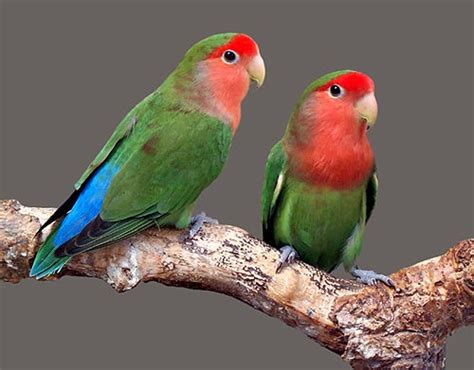 gledwood vol   main blog  beautiful lovebirds
