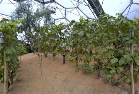 grape vine care and maintenance grape vine vitis vinifera plant facts eden project