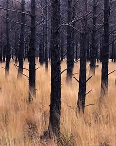 Afterburn, Torridon - Fire damaged Pine trees below ...