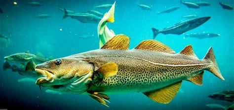 Atlantic cod | Gadus morhua | Askjell | Flickr