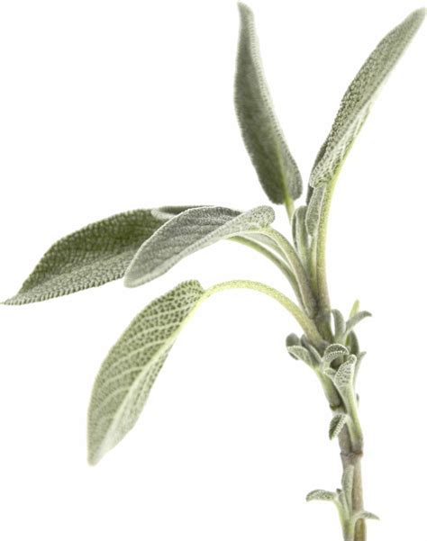 Sage Can Be Used For Anxiety Bodyl Odor Canker Sores