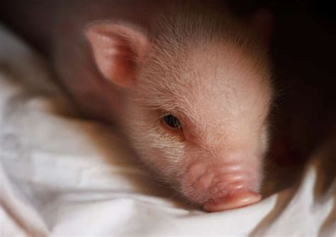 baby pot belly pigs 100 best images about quot this little piggie quot on pinterest miniature micro pig and pets
