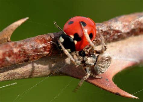 images de coccinelles animaux insectes la coccinelle