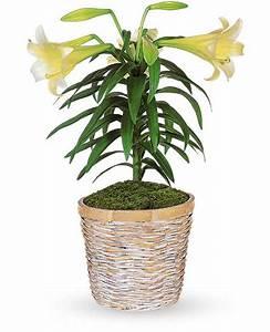 Fleur De Lys Plante : plante de lys de p ques t12z106a ~ Melissatoandfro.com Idées de Décoration
