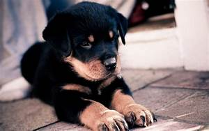 8 HD Rottweiler Dog Wallpapers - HDWallSource.com