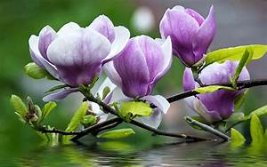 Magnolia Purple Flowers Twigs With Green Leaves Water ...