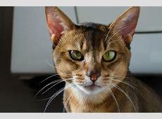 Kostenloses Foto Abessinier Katze, Kopf, Gesicht