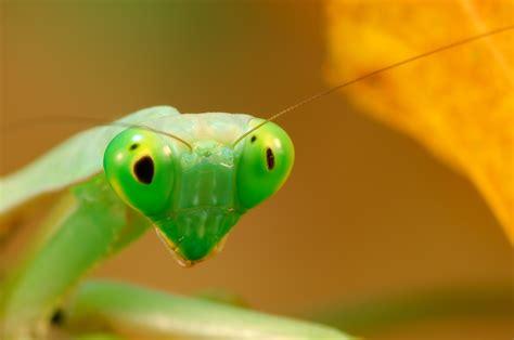 wallpaper mantis green animals