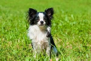 Kleinste Sauna Der Welt : der chihuahua der kleinste hund der welt ~ Whattoseeinmadrid.com Haus und Dekorationen