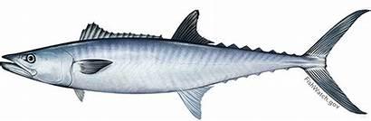 Mackerel King Scomberomorus Cavalla Fish Tenggiri Mackarel