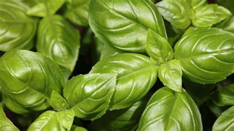 basilikum pflanze pflege basilikum pflanzen brauchen regelm 228 223 ige pflege und viel sonne
