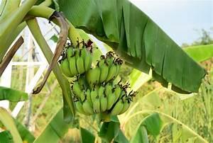 Bilder Von Steingärten : die fr chte der bananenpflanze die wichtigsten infos ~ Indierocktalk.com Haus und Dekorationen