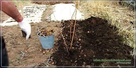 Rudens stādīšana ar aveņu krūmu ceļu   Vietne par dārzu ...