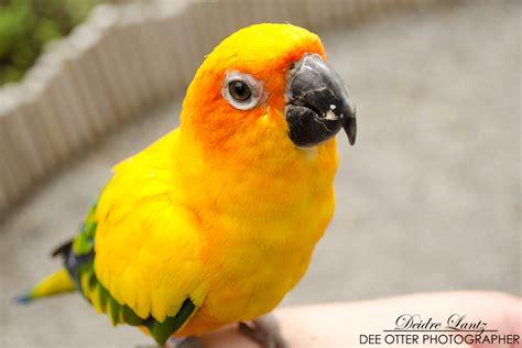 golden conure golden parrot by deeotter on deviantart