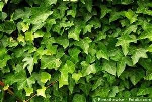Efeu Als Zimmerpflanze : efeu pflege pflanzen d ngen schnitt ~ Indierocktalk.com Haus und Dekorationen