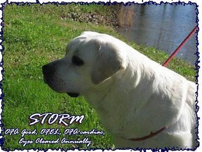 Lab Stud Breeders Spartacus Sire Bringer Rain