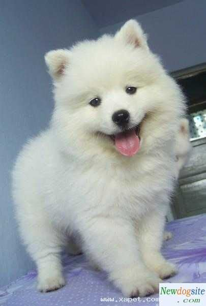 Walker Samoyed Puppies Four Legged Friends Dogs