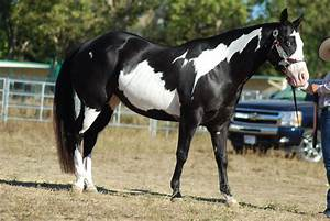 Pin American-paint-horse on Pinterest