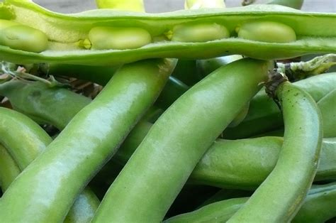 what are fava beans fava beans recipes from nash s organic produce