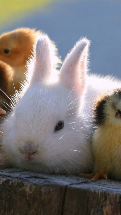cute rabbit  chicks wallpaper allwallpaperin