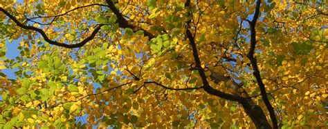 what tree leaves turn in fall why do leaves change color in the fall bower branch